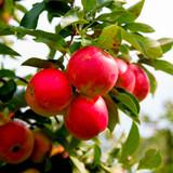 Elstar Apple Tree 4-5ft Ready to Fruit,Sweet Crunchy Dessert Apple