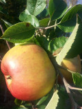 Bramley's Seedling Apple Tree 4-5ft, 6L Pot, Ready to Fruit, Popular Cooker