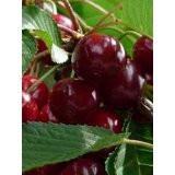 Van' Cherry Tree 4-5ft in a 6L Pot, Large, Dark Red, Sweet & Juicy Cherries