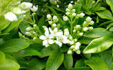 3 Mexican Orange Blossom Plants / Choisya 'Ternata' in 2L Pots