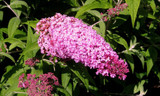 3 Buddleia davidii 'Pink Delight' in 2L Pots Buddleja Butterfly Bushes