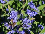 Caryopteris Clandonensis 'Kew Blue' In a 2 Litre Pot,Dark Blue Flowers 30-40cm