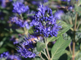 3 'Heavenly Blue' Caryopteris Clandonensis Plants.In 2 Litre Pots 25-30cm Tall