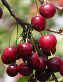 Merton Premier Cherry Tree 4-5ft 6L Pot, Large, Dark Red, Sweet & Juicy Cherries