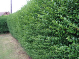 15 Green Privet Hedging Plants Ligustrum Hedge 30-40cm,Dense Evergreen,Big Pots