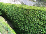 20 Common Box / Buxus Sempervirens 15-20cm Tall Evergreen Hedging Plants In 9cm Pots