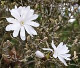 Magnolia 'Stellata' / Star Magnolia in 2L pot 1-2ft tall, Lovely White Flowers