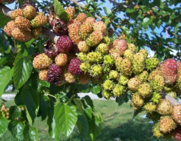 8d5d6390bf Black Mulberry - Morus Nigra in 2L Pot , Dark Purplish-Red Edible ...