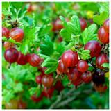 3 Red Gooseberry Plant / Uva Crispa 'Hinnonmaki Red' In 2L Pots, 2-3ft Tall