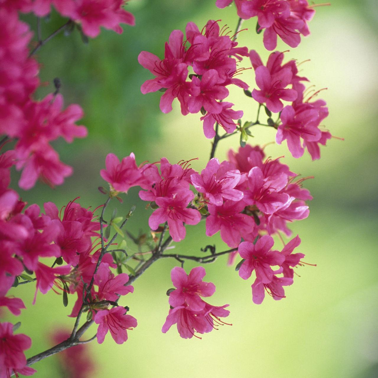 Japanese Azalea Rhododendron Geisha Pink 15 20cm Tall In 2l Pot