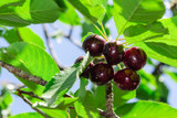 Early Rivers Cherry Tree 4-5ft 6L Pot,Ready to Fruit,Large Dark Juicy Cherries