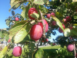 Big Juicy Victoria Plum Tree 4-5ft Tall In 6L Pot, Ready to Fruit, Self Fertile