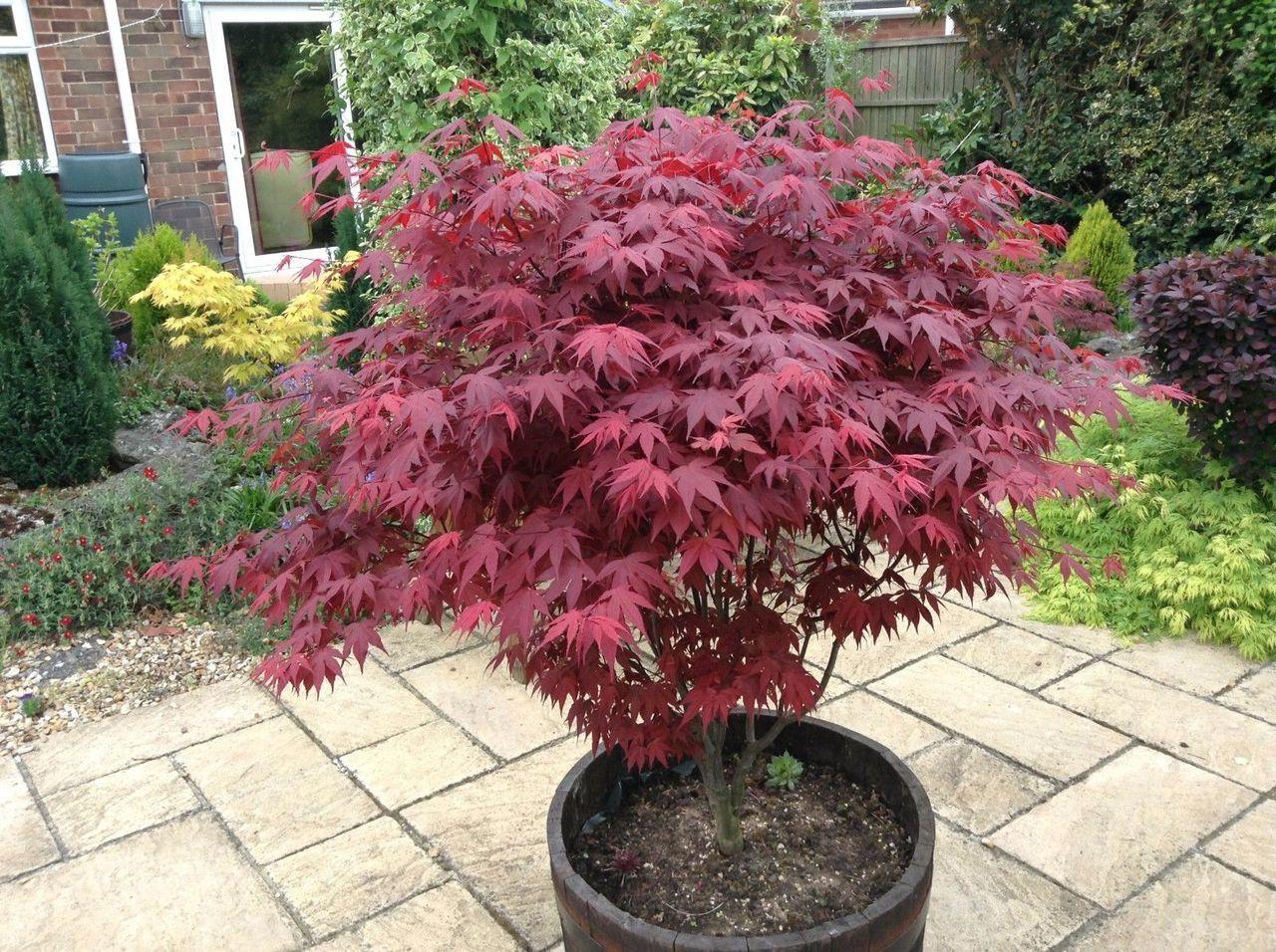 Japanese Purple Maple Tree 20cm Tall Acer Palmatum Atropurpureum