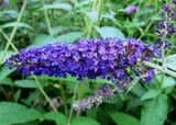 3 Buddleia davidii 'Empire Blue' 1-2ft tall in 2L pot Buddleja Butterfly Bush