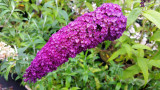 1 Buddleia davidii 'Royal Red' in 2L pot Buddleja Butterfly Bush