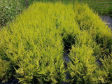 10 Golden Leylandii Hedging, 30-40cm Potted in 9cm Pots, Quick Growing Evergreen