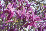 Magnolia 'Susan' in 2L pot 1-2ft tall,Purple Tulip-Like Flowers in the 1st Year