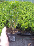 5 Common Box / Buxus Sempervirens 15-20cm Tall Evergreen Hedging Plants In 9cm Pots