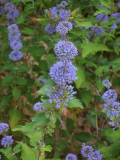 'Grand Bleu' Caryopteris clandonensis 20-25cm in 2L Pot Hedging Shrub