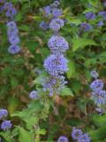 'Grand Bleu' Caryopteris / cary. x clandon. 20-25cm in 2L Pot Hedging Shrub
