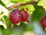 1 Red Gooseberry Plant / Uva Crispa 'Hinnonmaki Red' In 2L Pot, 2-3ft Tall