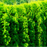 10 Western Red Cedar /Thuja 'Gelderland' in 9cm pots evergreen hedging