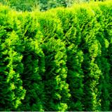 10 Western Red Cedar Trees /Thuja 'Gelderland' in 9cm Pots Evergreen Hedging Plants