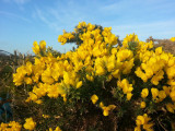 1 Gorse Hedging Bush,Prickly Furze Plant,Fragrant Yellow Whin Evergreen Hedge