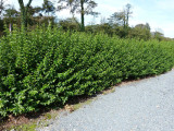 3 Green Privet Hedging Plants Ligustrum Hedge 25-35cm,Dense Evergreen,Big Pots