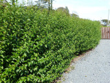 50 Green Privet Hedging Plants Ligustrum Hedge 30-40cm,Dense Evergreen,Big Pots