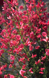 1 Red Broom - Cytisus x Praecox Hollandia Plant in 9cm pots