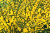 1 Broom / Cytisus Praecox 'All Gold' Plant in 9cm Pot, Long Lasting, Yellow Flowering Shrub