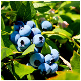 'Duke' Blueberry / Vaccinium cor. 'Duke' in 9cm Pot, Tasty Edible Fruit