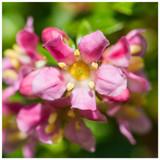 10 Escallonia 'Donard Radiance' Evergreen Hedging Plants in 9cm Pots