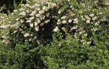 3 Escallonia 'Apple Blossom' Hedging Plants Evergreen