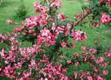 25 Escallonia 'Donard Radiance'Hedging Plants Evergreen