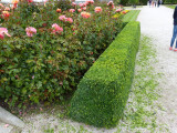 6 Common Box / Buxus Sempervirens 15-20cm Tall Evergreen Hedging Plants In 9cm Pots