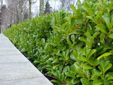 100 Cherry Laurel Fast Growing Evergreen Hedging Plants 10-20cm Tall in 10cm Pots