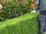 10 Common Box / Buxus Sempervirens Evergreen Hedging Plants In 9cm Pots