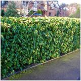 3 Portugal laurel Hedging Prunus Lusitanica 25-40cm, Evergreen Hedging Plants