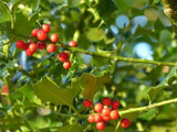 3 Common Holly Hedging Evergreen Plants, Ilex aquifolium 25-35cm in P9 Pots