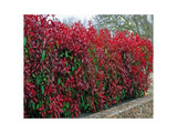 33 Photinia Red Robin Hedging Plants 15-25cm Bushy Evergreen Hedge Shrubs