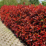 3 Photinia Red Robin Hedging Plants 15-25cm Bushy Evergreen Hedge Shrubs