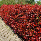 20 Photinia Red Robin Hedging Plants 15-25cm Bushy Evergreen Hedge Shrubs