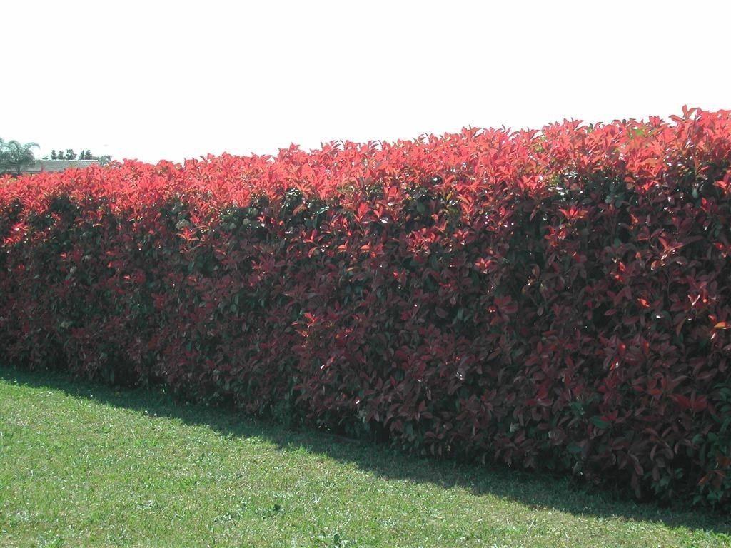 28 Photinia Red Robin Hedging Plants 20-30cm Bushy Evergreen Hedge Shrubs