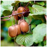 Self-Fertile Kiwi Fruit 'Jenny' 1-2ft Tall In a 2L Pot , Chinese Gooseberry
