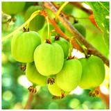 Self-Fertile Mini Kiwi Fruit 'Issai' 2-3ft Tall In a 2L Pot , Chinese Gooseberry