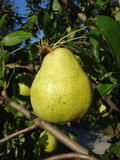 Doyenne Du Comice Pear Tree 4-5 ft Dessert Pear With Fine Flavour