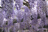 Wisteria 'Naga Noda' / Japanese Wisteria in a 2L Pot, Fragrant Flowers