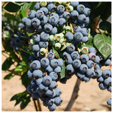 3 Blueberry 'Herbert' Fruit Bushes In 9cm Pots, Very Tasty Edible Berries